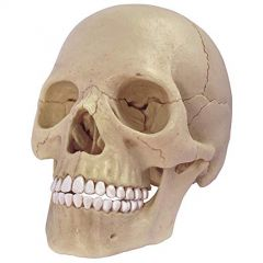 4D Human Exploded Skull