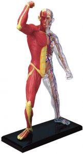 4D Human Muscle & Skeleton